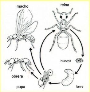 Ciclo en la vida de las hormigas.