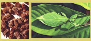 Insecto hoja. Phyllium siccifolium.